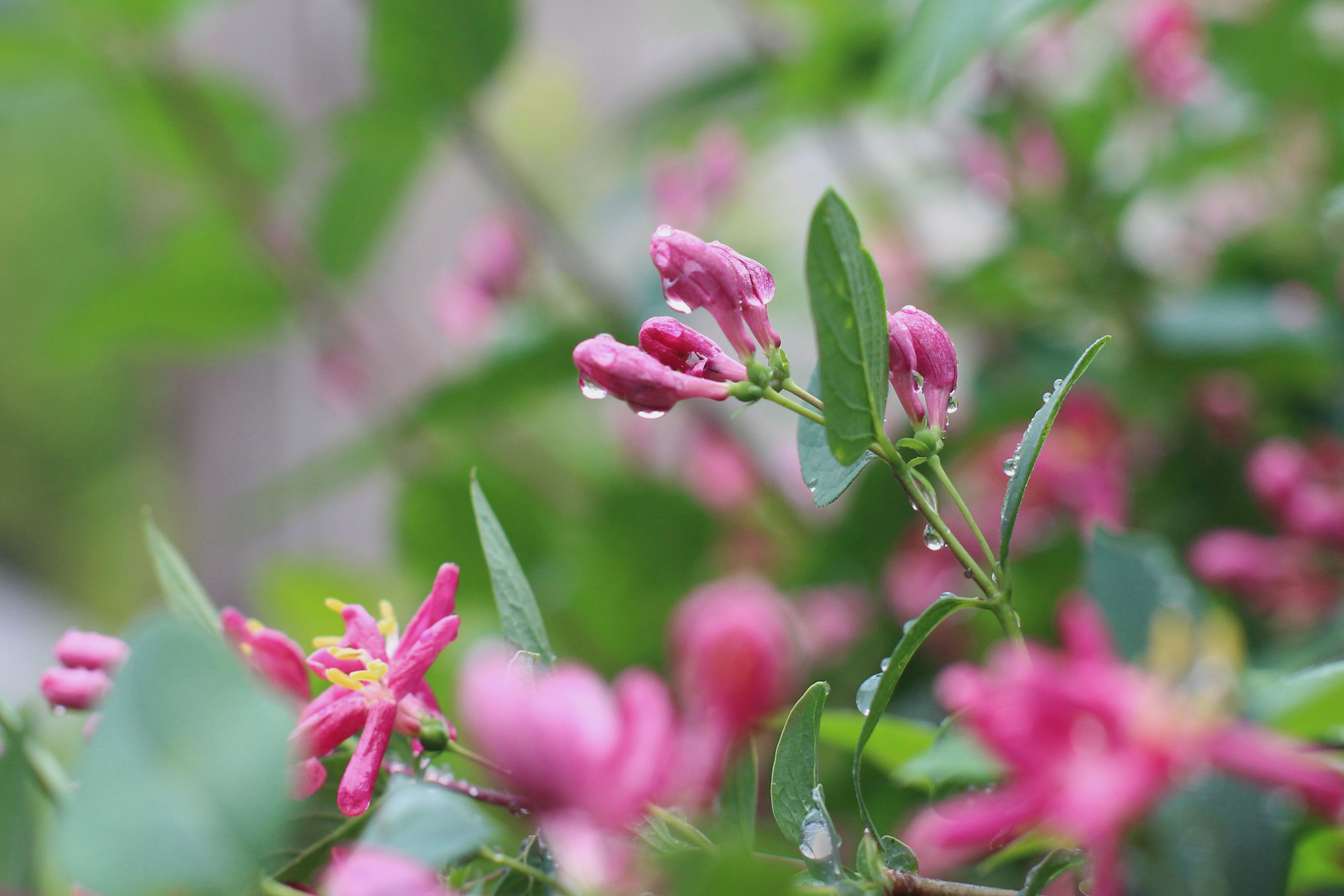 raindrops on a pink blooming shrub